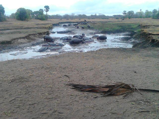 Hippo Katavi Nationa Park